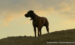 rhodesian ridgeback-bb.de - 7themes, Fotografie und Bildbearbeitung von 7themes
