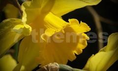 Die Gelbe Narzisse auf 7themes.de