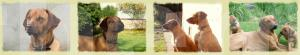 Banner Erstellung - Website für Rhodesian Ridgeback Lisimba Asabi