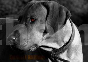 Rhodesian Ridgeback-bb Bild, Bildbearbeitung im Colorkey-Effekt